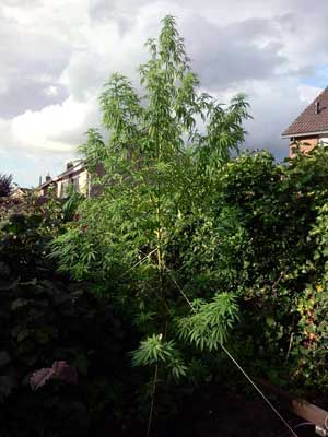 """Example of a """"Christmas Tree"""" shaped cannabis plant growing outdoors in the sun. It is shaped this way to get as much sunlight as possible while being able to catch pollen in the wind."""