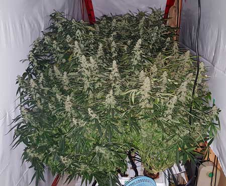 Example of flowering DWC grown cannabis plants - look at all that bud!