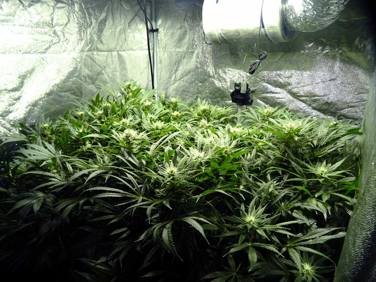Cannabis Defoliation Tutorial How To Increase Yields By