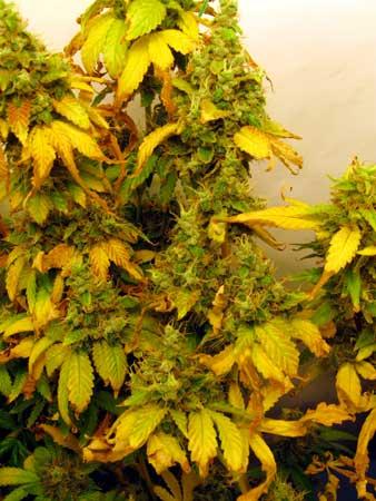 Led Grow Lights Can Burn Cannabis Buds Grow Weed Easy