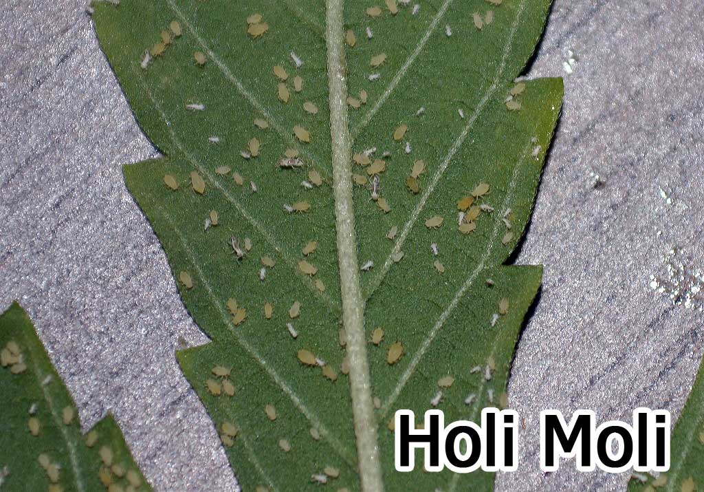 Aphids (also Greenflies & Blackflies) - Get Rid of These Common ...