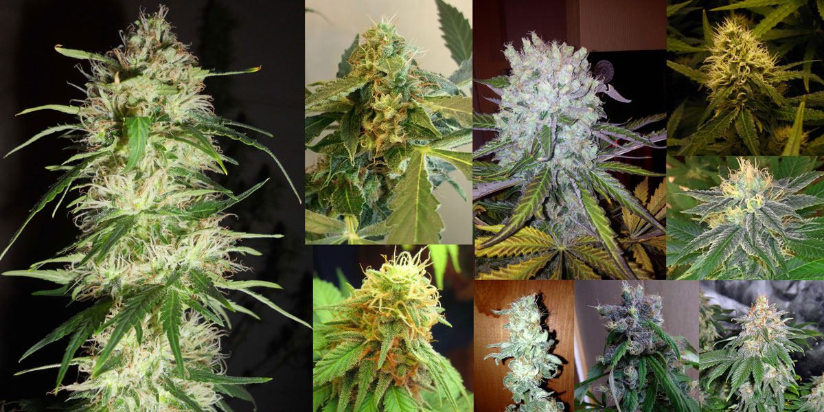 Cannabis Breeding Techniques (Advanced) - How to breed your own ...