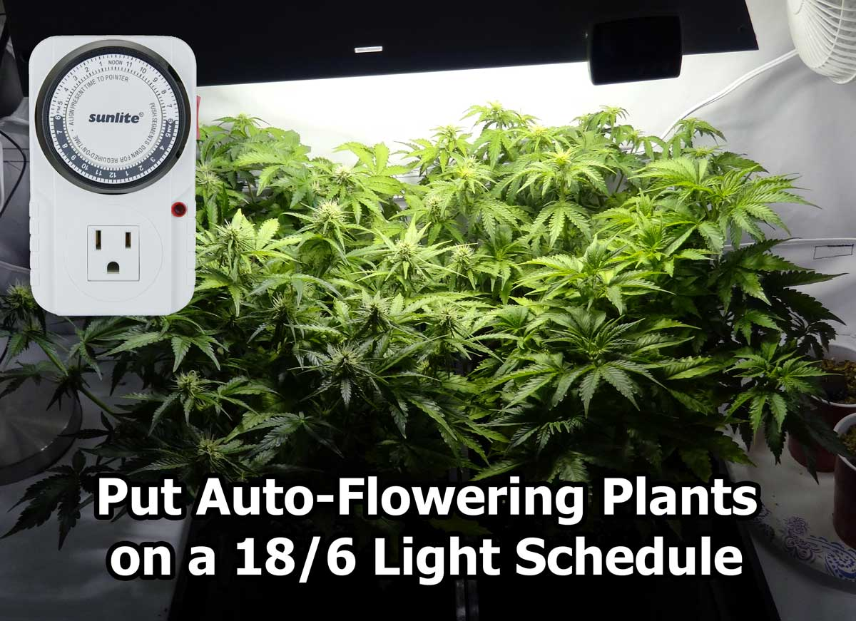 Best light schedule for auto flowering strains grow weed easy these auto flowering marijuana plants that are about halfway to harvest is 18 nvjuhfo Image collections