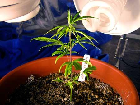 The Master Purp cannabis clone when I got it