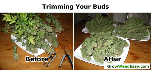 Trimming your marijuana buds - before and after example - cut off all the biggest fan leaves and any sugar leaves that are covering buds.