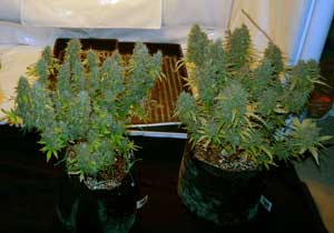 A view of two typical sized auto-flowering plants just before harvest - these vegetated for about 3 weeks, and flowered for another 6 or so