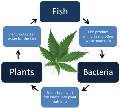 Aquaponics & Cannabis Cycle of Life