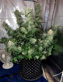 "This ""Blue Velvet"" strain marijuana plant was grown in an air pot - check out those yields!"