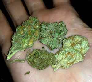 Example of several different strains in hand