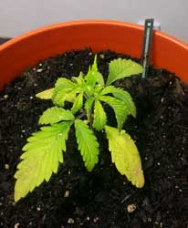 Example of a cannabis seedling that is droopy and has yellow leaves because it has been given too much water, too often
