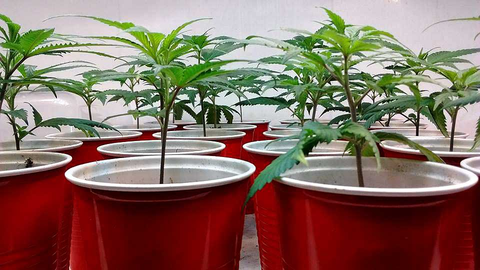 Picture Guide To Cloning Marijuana Grow Weed Easy