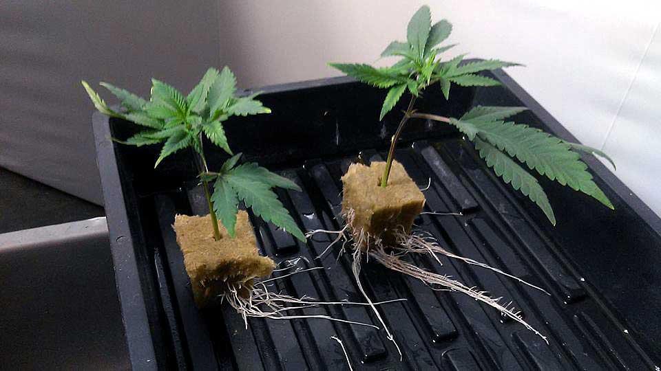 Resultado de imagem para cannabis clone