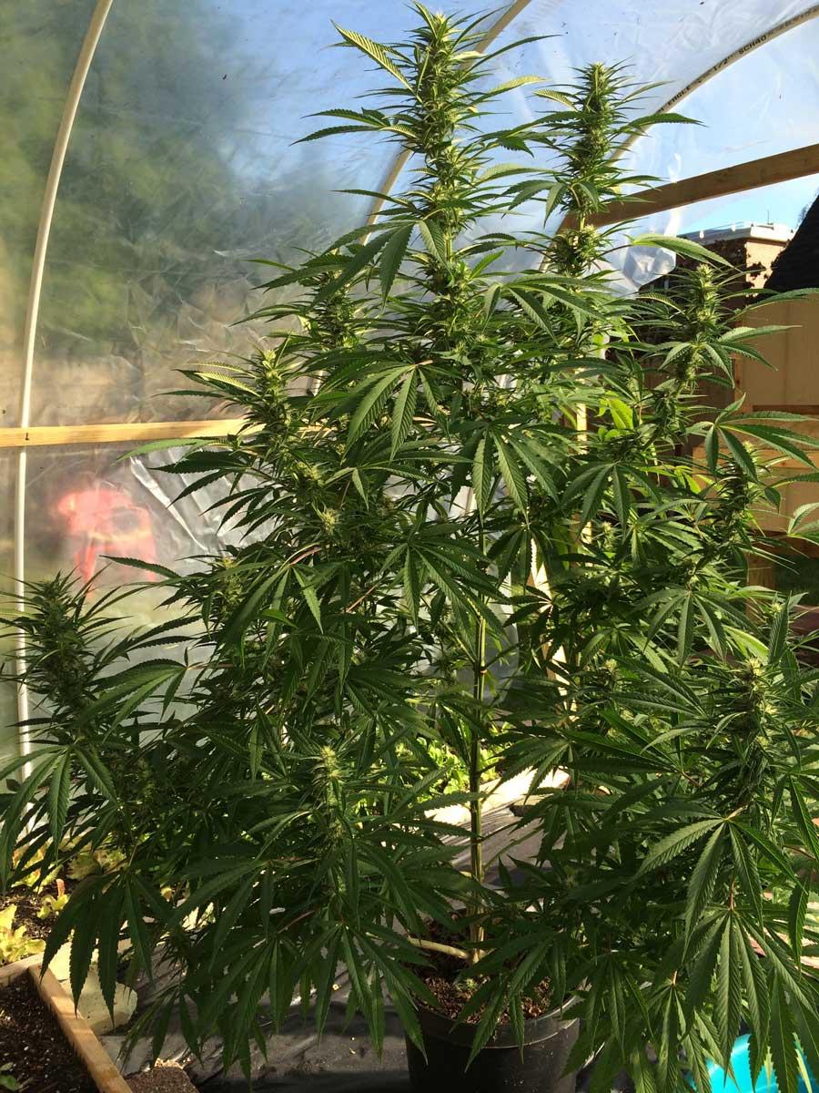 Unbelievable $50 DIY Greenhouse   Grow Weed Easy