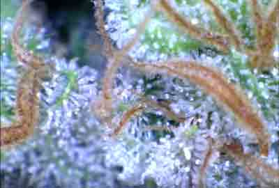 An example of cannabis trichomes that are ready to harvest - extreme closeup!