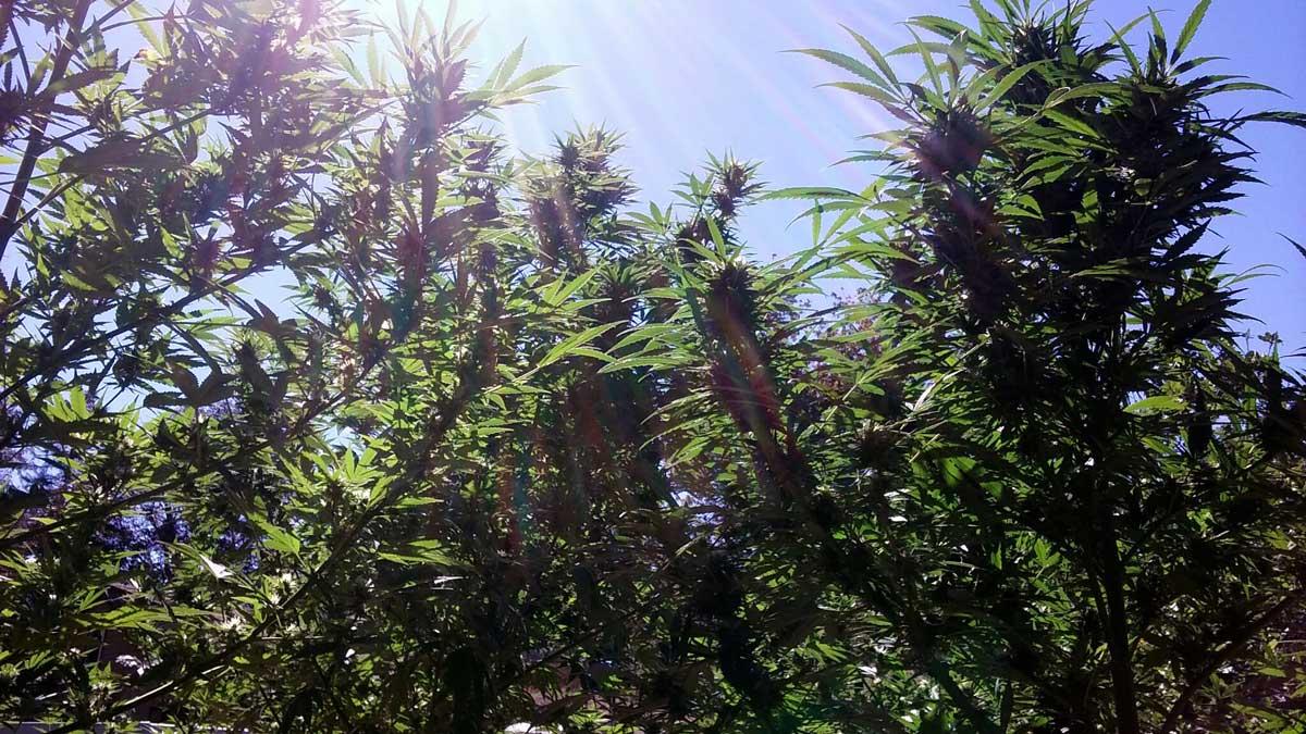 how much sunlight do marijuana plants need
