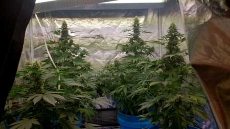 Example of cannabis plants that have not been trained. Notice how each one only has one main cola, while all the other buds further from the light are much smaller