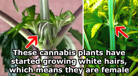 how to tell difference male and female purple haze marijuana