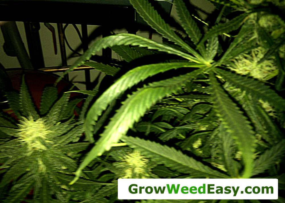 Nitrogen Toxicity | Grow Weed Easy