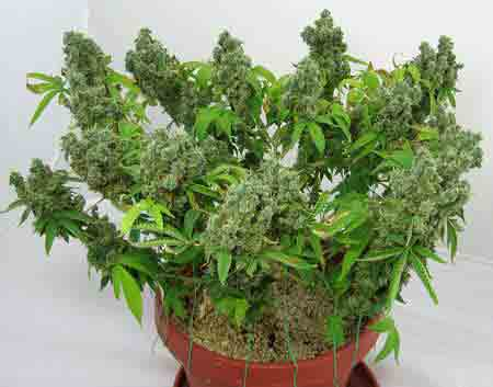 This cannabis plant was trained in the vegetative stage to grow short and bushy, now it's buds are fat from being so close to the grow lights
