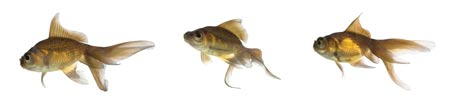 Goldfish can make a great choice for growing cannabis in aquaponics since they are hardy, tolerate crowding and are nice to look at!