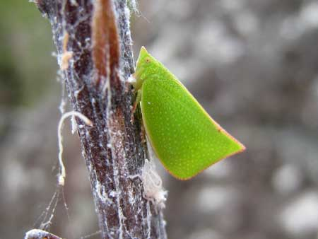 Example of a green planthopper with a white larva