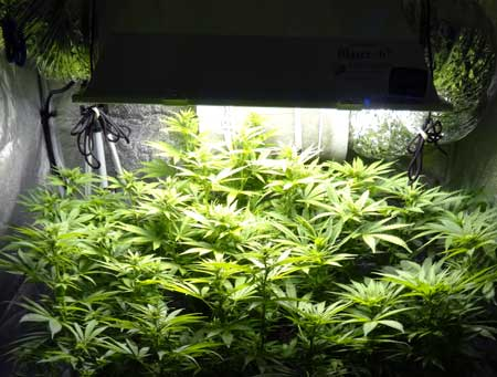 To get the best yields, you want to figure out the perfect distance to keep your grow light away from your plants