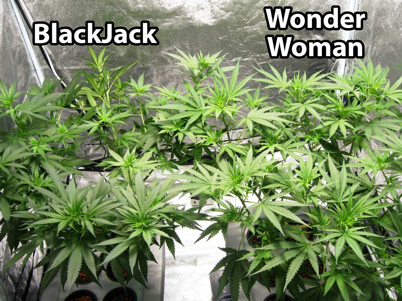 Cannabis Seeds Nz New Zealand Seedbank