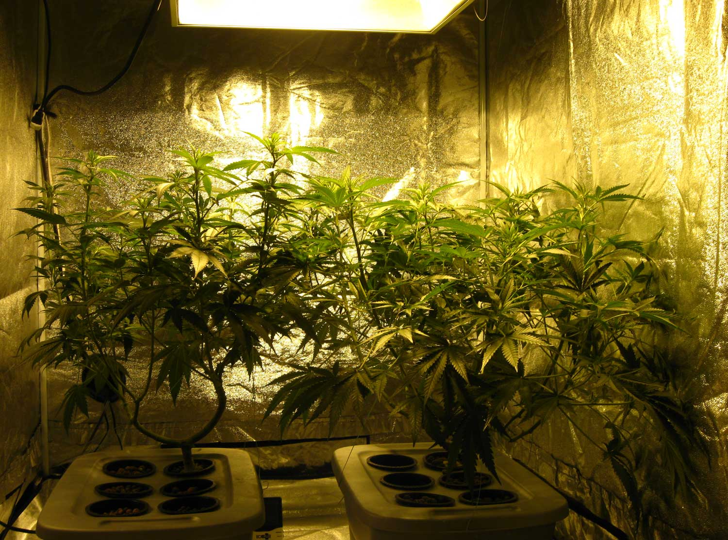 a view of the grow tent right after we switched to an hps bulb