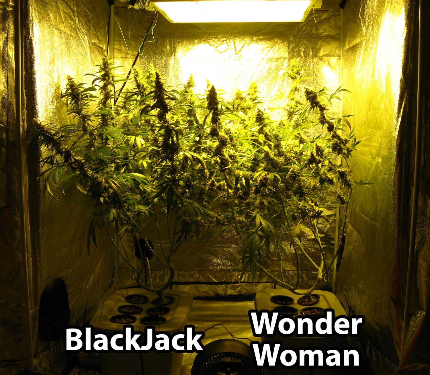 The colas in the tent start falling over from their weight one of the best & 600W Hydroponic Grow Journal - 23.09 oz Harvest! | Grow Weed Easy