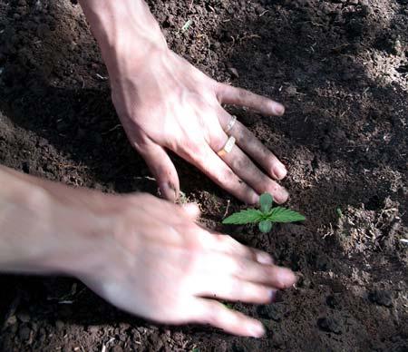 Example of growing cannabis seedlings in good soil