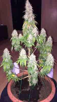 Growing cannabis buds on a small plant like this can give impressive yields without taking that much room or needing much time - get tutorials to grow your own weed like this!