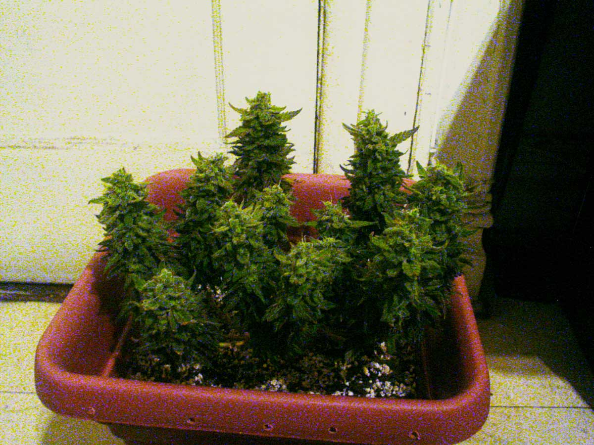 Mini cannabis plant just before harvest 200 CFL Microgrow   Pictures   Write up   Grow Weed Easy. Aerogarden Weed Harvest. Home Design Ideas