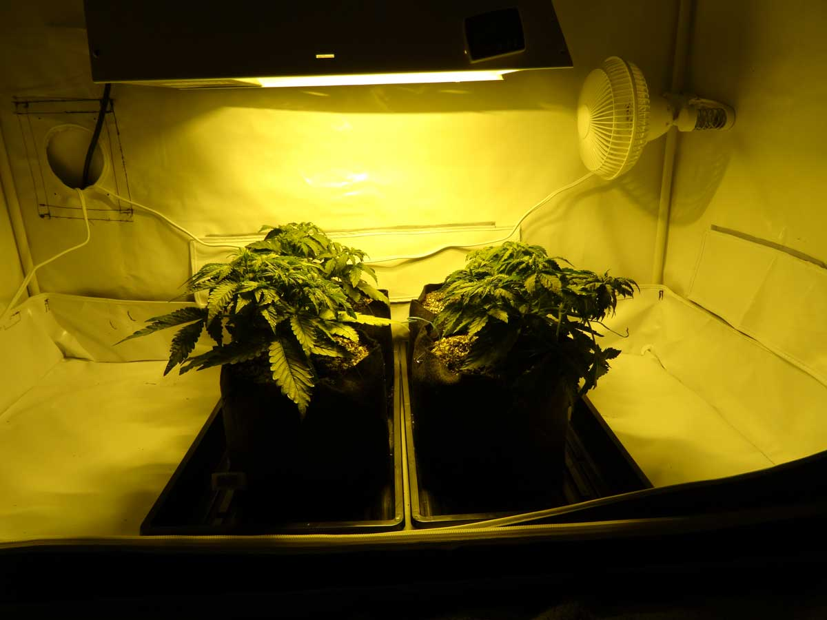 They grew quite a bit after they started flowering. Here they are at basically full size & What size grow tent? - GrowWeedEasy.com Cannabis Growing Forum