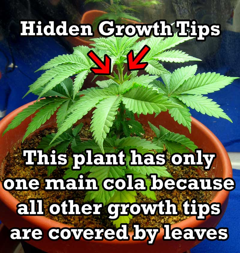 This marijuana plant only has one main  cola  because all the other growth tips  sc 1 st  Grow Weed Easy & Simplest Cannabis Plant Training Guide (No Skills Needed!) | Grow ...