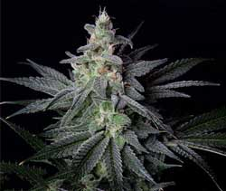 Jack Herer - a medical cannabis bud that has unique effects