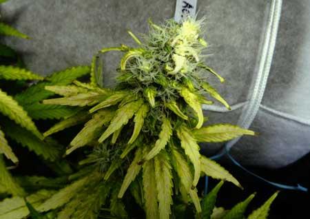 Bleached white cannabis bud