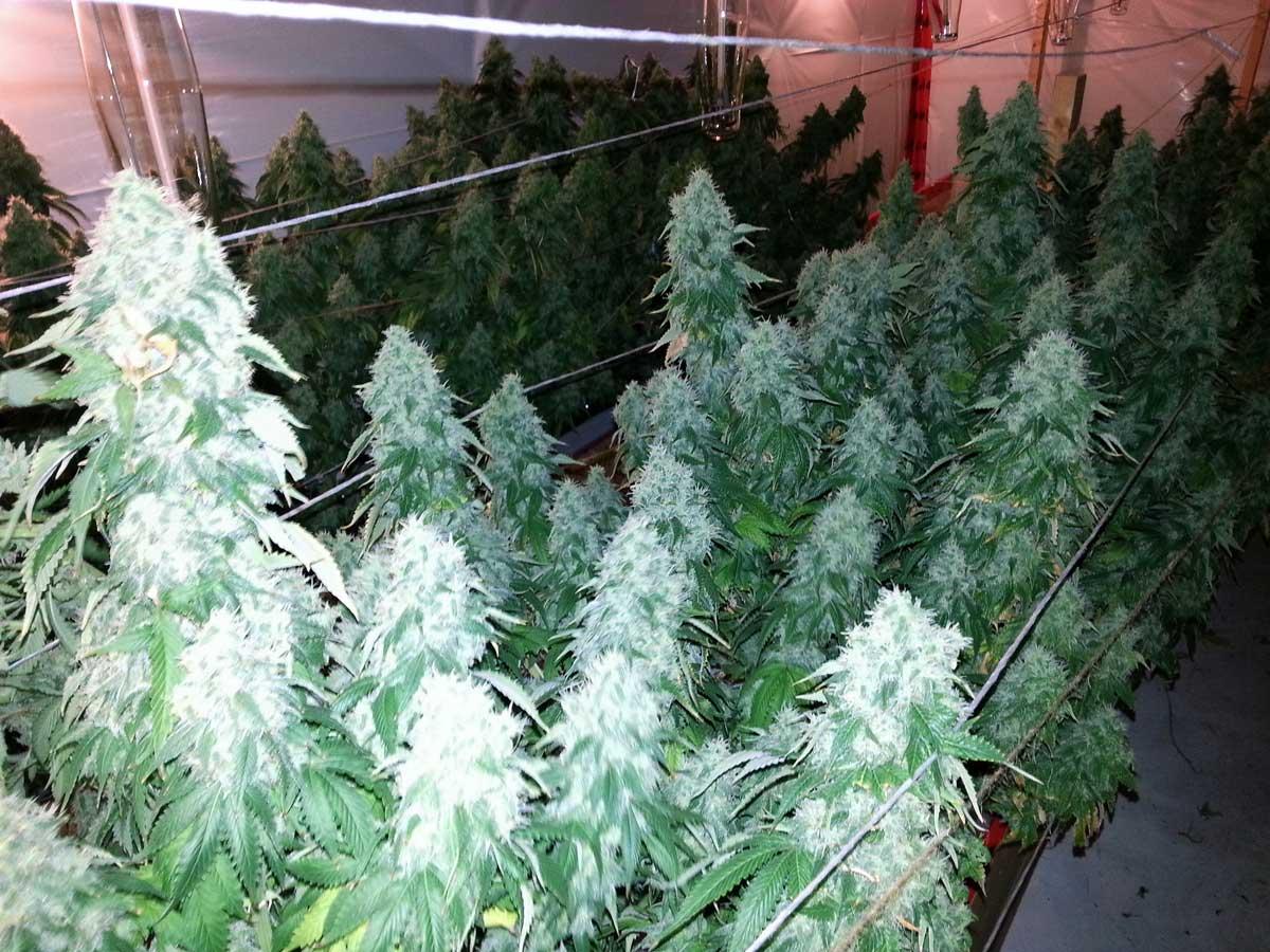 Do My Cannabis Plants Need Side Lighting Grow Weed Easy