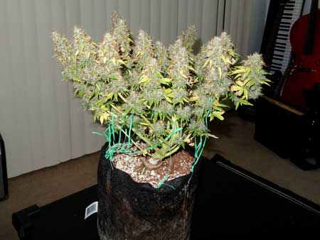 Example of a marijuana plant that was trained to form multiple colas via LST