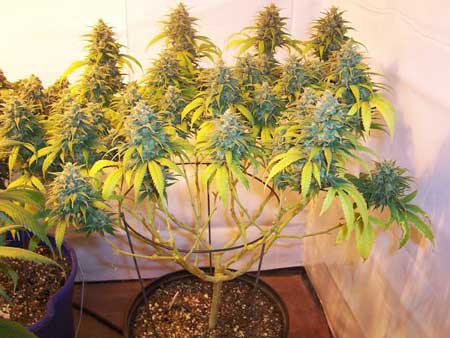 Example of a cannabis plant that was lollipopped two heavily before the switch to the flowering stage, resulting in reduced yields