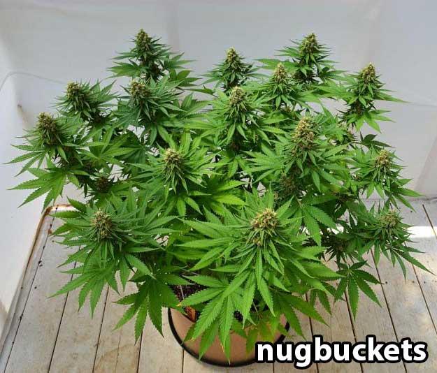 Een plant met 16 hoofdtoppen
