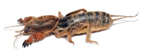 Example of a mole cricket, which is a marijuana pest that can tunnel under your plants and disturb the roots!