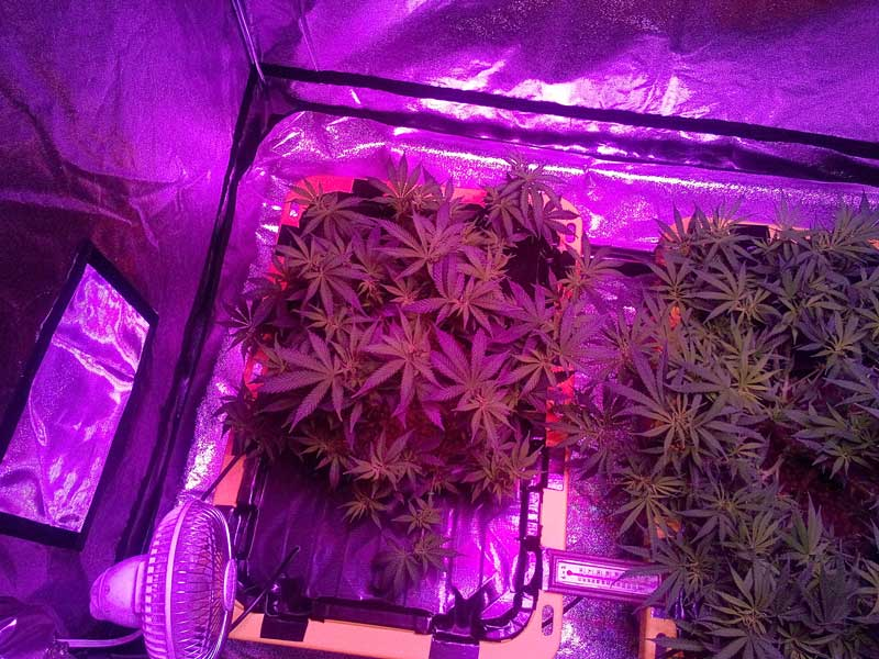 Kind K5 Xl1000 Led Grow Journal 1 3 Lb Harvest Grow