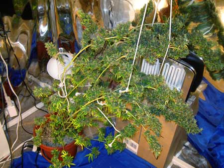 The Master Purp cannabis plant in the flowering/budding stage