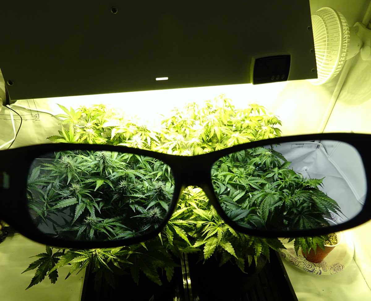 Auto-flowering Grow Journal - 6.7 oz under 250W HPS!   Grow Weed Easy