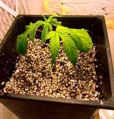 Overwatered marijuana plant - pot is too big