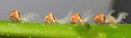 Planthopper nymphs produce a white substance that is reminiscent of cotton or even mold