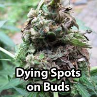 Cannabis Bud Rot - GrowWeedEasy.com