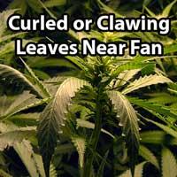 Cannabis Wind Burn (Clawed Leaves) - GrowWeedEasy.com