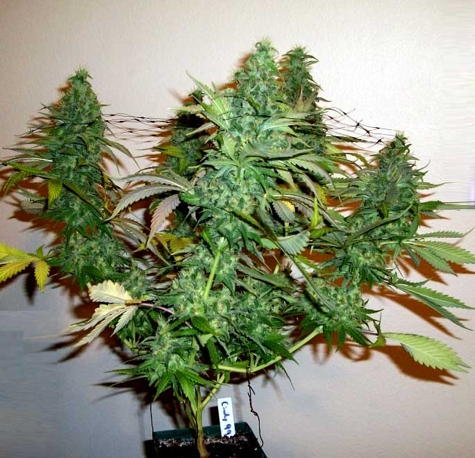 Weed Plants Budding Too Early 5 Ways to Incre...
