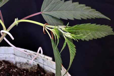 Copper wire can be used to hold down marijuana stems during LST